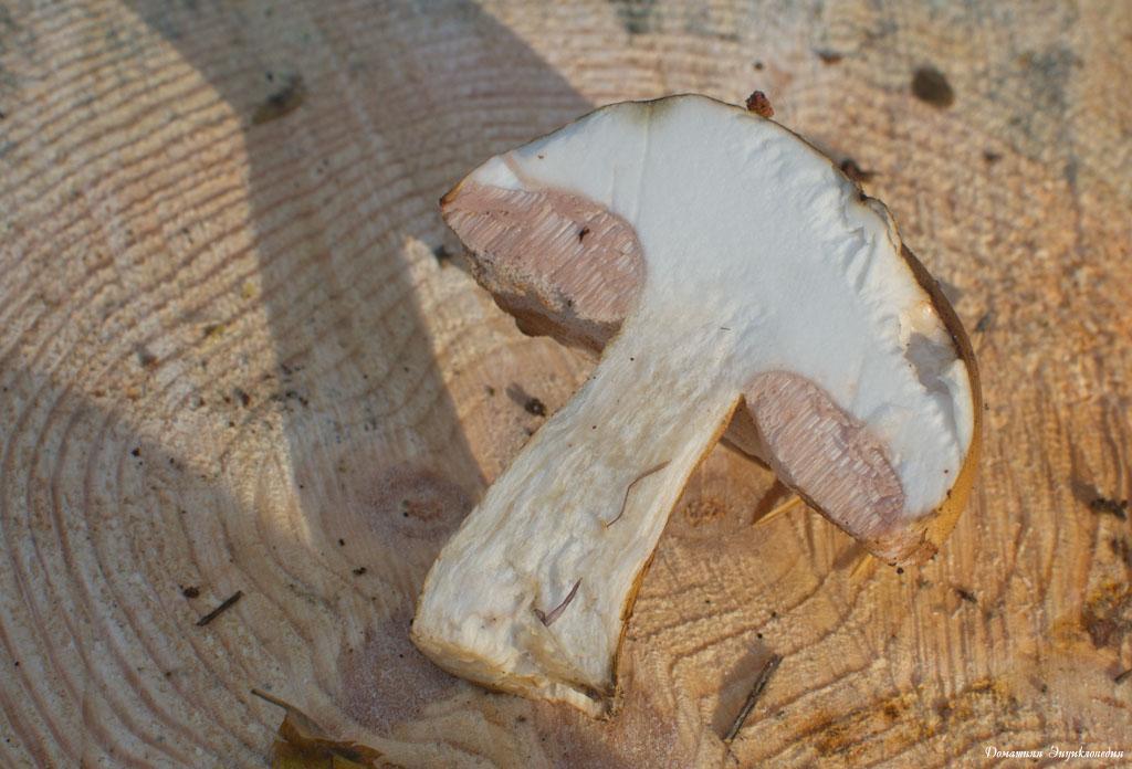 желчный гриб в разрезе фото