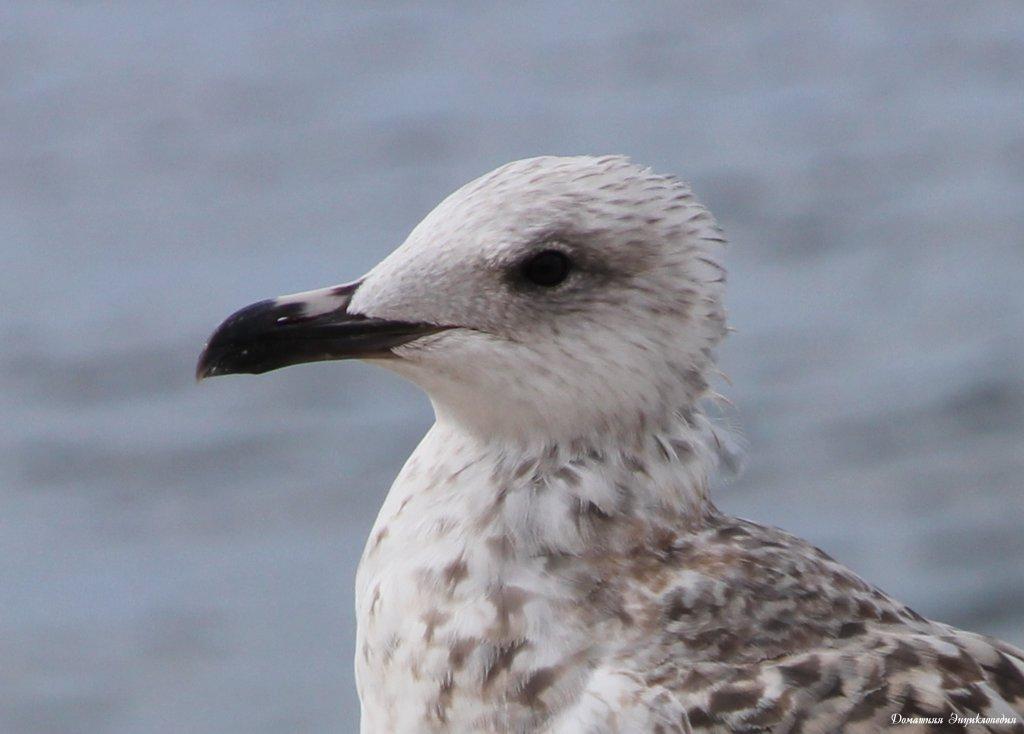 птицы черного моря фото с названиями