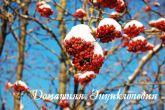 Энциклопедия природы. Рябина.Пока на дереве ещё есть плоды, птицы этим пользуются.